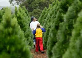 Santa Cruz Ca Christmas Tree Farms by Christmas Branch Ranch Christmas Tree Farm Thousand Oaks