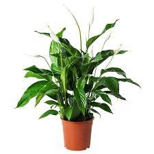 spathiphyllum pflanze einblatt hier entdecken ikea