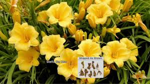 cottage farms 9 everblooming stella d oro daylily col on