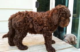 Do F1 Aussiedoodles Shed by Multigen Labradoodle Puppies U2013 Summer 2014 Aussiedoodle And