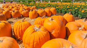 Pumpkin Picking Farms In Maryland by Apple Orchards And Pumpkin Patches In The Dmv Nbc4 Washington