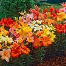 bulbs for sale buy flower bulbs in bulk save flower