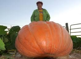 Atlantic Giant Pumpkin Taste by Giant Veggies Other Giantveggiegardener