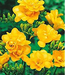 kraft seeds nargis or narcissus flower bulb pack of 6 in