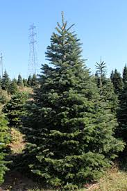 Nordmann Fir Christmas Trees Wholesale by Nyc Tree Lady Purchase Nordman Fir Christmas Tree