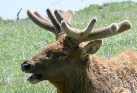 Whitetail Deer Shedding Velvet by The Differences Between Antlers And Horns The Infinite Spider