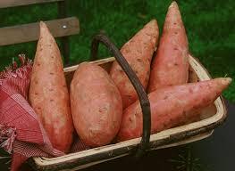 comment cuisiner les patates douces recettes recettes à base de patate douce tubercule d amérique du sud