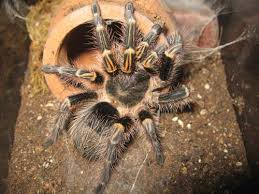 Do Tarantulas Molt Upside Down by Terrestrial Tarantula Set Up U0026 Caresheet Chaco Golden Knee