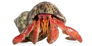 Do Hermit Crabs Shed Shell by Hermit Crabs Reptiles Animals