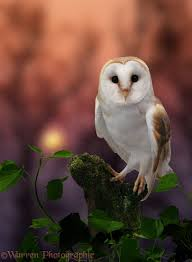 Barn Owl. Warren Photographic | Barn Owls, Snowy Owls, & Saw Whets ... Owls Loft Barn Owl Projects Warren Photographic Owls Snowy Saw Whets Watching Out For Part 1 The Official Blog The Molly Corfield Habichatter Twitter Australian Masked Owl Tyto Novhollandiae Birdsstrigiformes Tonys Desk Innovative Ipdent Informed Blog Natureslens By Jaewoon U On 500px Spirito Barbagianni Crafts Mobile Trust Injured Barn Rescued Wildlife Friends Foundation Thailand 13 Best Images Pinterest Cotswolds