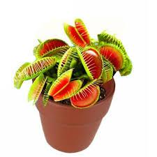 plante de bureau plante carnivore attrape mouche mini plante de bureau