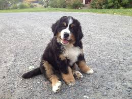 Non Shedding Large Dogs by The Bernese Mountain Dog Called In German The Berner Sennenhund
