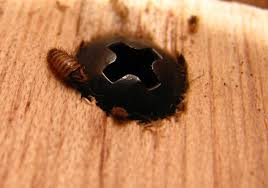Carpet Weevil Pictures by Id Needed Carpet Beetle Larvae Got Bed Bugs Bedbugger Forums