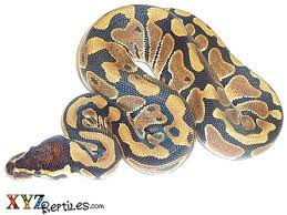 Ball Python Shedding Eating by Baby Ball Python For Sale Xyzreptiles