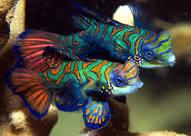 Mandarijnvissen