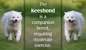 Dogs That Dont Shed Keeshond by Information About The Keeshond Dog Breed You U0027ll Thank Us For