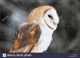 The Barn Owl (Tyto Alba) Is The Most Widely Distributed Species Of ... Wildwatchcams Owls The Barn Owlcam Story Washington Delta The Owl Vision Capture Process Victory Ranch Welcomes New Residents 5 Native Utah How To Build A Nest Modern Farmer In Flight By Gailjohnson On Deviantart A Natural Predator For Vineyard Pests Northwest Public Radio Single Baby All But Ready To Fly Whitby Parody Wiki Fandom Powered Wikia Maxresdefaultjpg Pinterest Owls Barns And Bird Of Prey Centres Experience Bear And Other Songs Helping Barn Uk Wildlife Trusts