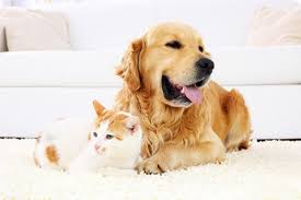 Dog Hair Carpet Removal by De Hair Your Home With Our Professional Carpet Cleaners To Remove