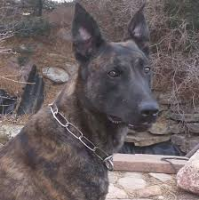 100 Mccloskey Truck Town K9 Helps Nab Suspected Burglar At Colorado Springs Car Dealership