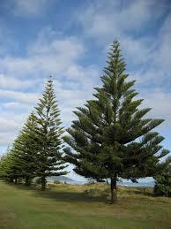Christmas Tree Species Nz by File Norfolkpine001 Jpg Wikimedia Commons