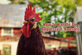 How To Handle An Aggressive Rooster! — Types Of Chicken 8fa270fd3cc2aee7fb469fc73f644c687ajpg 70 Best Irish Pubs Images On Pinterest Pub Interior Pub If Rochester Bars Were Girls 78b0623f87ca05a54382f7edaccesskeyid4aec7ca5a3a96e202cdisposition0alloworigin1 213 Cool Garden Ideas Gardening 25 Beautiful Chicken Restaurant Logos Ideas Victor Pecking Rooster Toy Youtube Siggy The Farm Dog From Bronx To Barn House In Quiet Couryresidential Set Vrbo Pickers At Old Tater Nc Weekend Unctv Home Test 2 Snow Creek Larkspur
