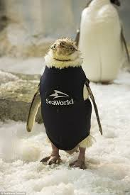 seaworld orlando s naked penguin gets special wetsuit after