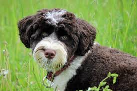 Cute Non Shedding Dog Breeds by Portuguese Water Dog Wagbrag Pet Wellness Health Rescue And
