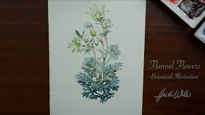 100 Flannel Flower Glass S Botanical Study In Watercolour