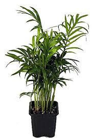 golden palm in pots hirt s palm chamaedorea 4 pot