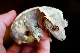 Halloween Harlequin Crested Gecko For Sale by Red And White Blue Dalmatian Crested Gecko Posted By Sivlotd At