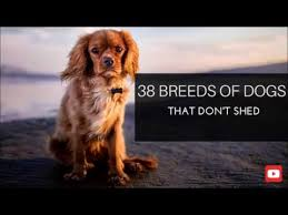 Protective Dog Breeds That Dont Shed by 38 Breeds Of Dogs That Don U0027t Shed Youtube
