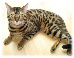 cats for best 25 bengal cat for ideas on bengal kittens