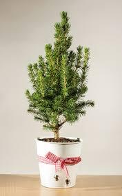 Balsam Christmas Tree Care by 13 Christmas Tree Care Tips Thegoodstuff