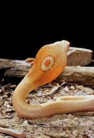 Corn Snake Shedding Too Often by 51 Best Snakes Images On Pinterest Reptiles Animals And Amphibians