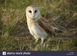 A Hunting Barn Owl (Tyto Alba) Resting In The Grass After Failing ... White And Brown Barn Owl Free Image Peakpx Sd Falconry Barn Owl Box Tips Encouraging Owls To Nest Habitat Diet Reproduction Reptile Park Centre Stock Photos Images Alamy Bird Of Prey Tyto Alba Video Footage Videoblocks Barn Owl Tyto A Heart Shaped Face Buff Back Wings Bisham Group Bird Of Prey Clipart Pencil In Color British Struggle Adapt Modern Life Birdguides Beautiful Owls Pulborough Brooks The