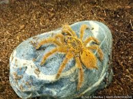 Do Tarantulas Shed Their Legs by Mombasa Baboon Spider Pterinochilus Murinus Mombasa Golden