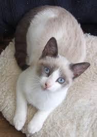 snowshoe cat snowshoe siamese cat breeds snowshoe cat siamese