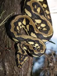 Coastal Carpet Python Facts by 75 Diamond 12 5 Bredli 12 5 Coastal Carpet Python Animals I
