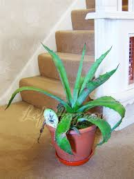 evergreen nature aloe vera in pot medicinal healing indoor