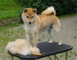 Does Akita Shed A Lot by Does Akita Shed A Lot 28 Images 1000 Images About Awwww On