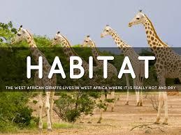 West African Giraffe By Richard Delong