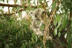 eukalyptus pflanzen pflegen und schneiden