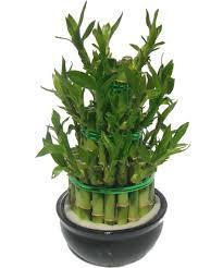 entretien des bambous en pot bambou archives pivoine etc