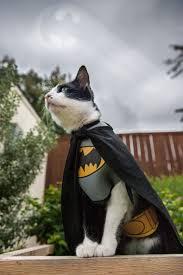 cat batman costume my bought cat a batman costume i couldn t resist the