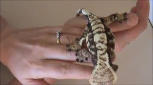 Crested Gecko Shedding Behavior by Why Is My Crested Gecko So Jumpy Youtube