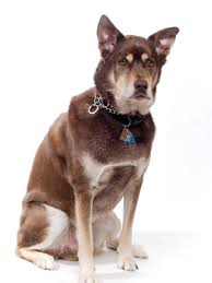 Low Shedding Big Dogs by What You Need To Know Before Getting A Husky Lab Mix Animalso