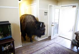 100 Buffalo Craigslist Cars And Trucks By Owner Housetrained Bison With Great Personality Finds A New Home Life
