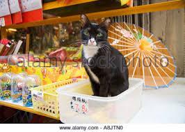 cat merchandise cat sitting with merchandise in hong kong shop stock photo
