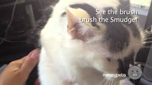 Excessive Hair Shedding In Cats by Cat Shedding Excessively The Smudge Gets A Brushing Youtube
