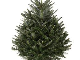 Fraser Christmas Tree Care by Cut Fraser Fir Christmas Trees